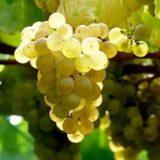Exportaciones españolas de mosto y zumo de uva , racimo de uva